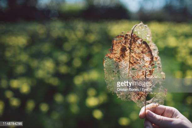 Cropped Hand Holding Dried Leaf