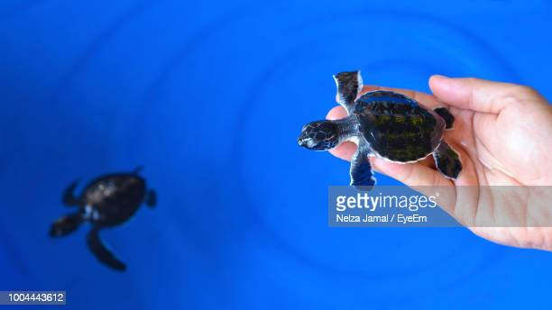 cropped hand holding hatchling over blue wading pool - terengganu stock pictures, royalty-free photos & images