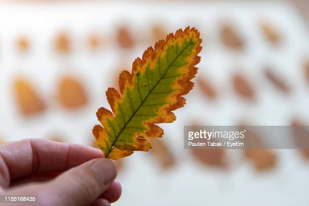 cropped hand holding leaf during autumn - paulien tabak stock pictures, royalty-free photos & images