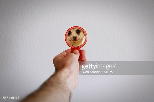 Cropped Hand Holding Mirror With Meerkat Reflection Against White Wall