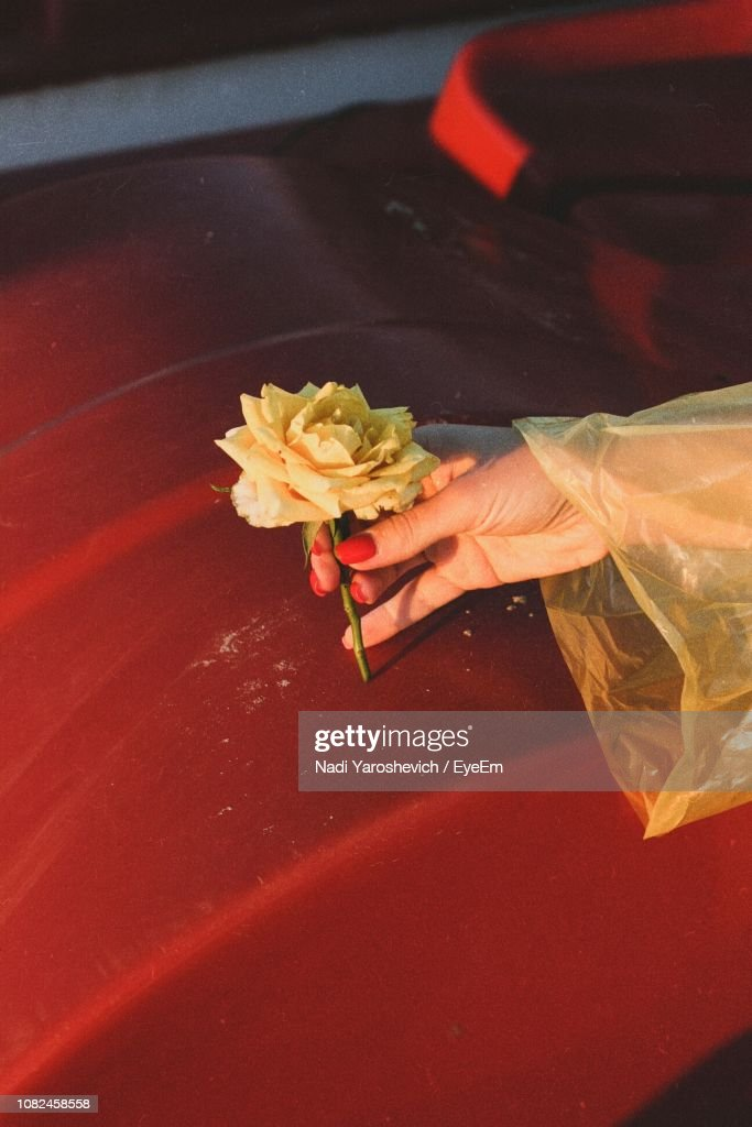 Cropped Hand Holding Rose : Stock Photo
