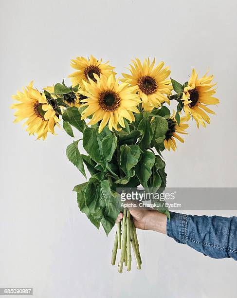 cropped hand holding sunflowers against white background - girasoli foto e immagini stock