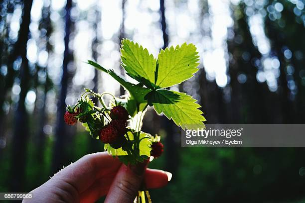 Cropped Hand Holding Wild Strawberries In Forest