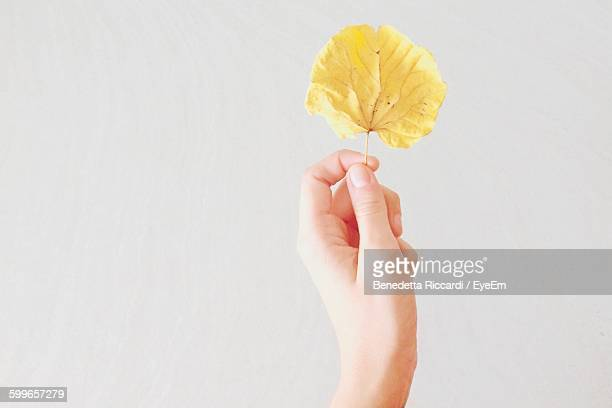 Cropped Hand Holding Yellow Leaf Against White Background