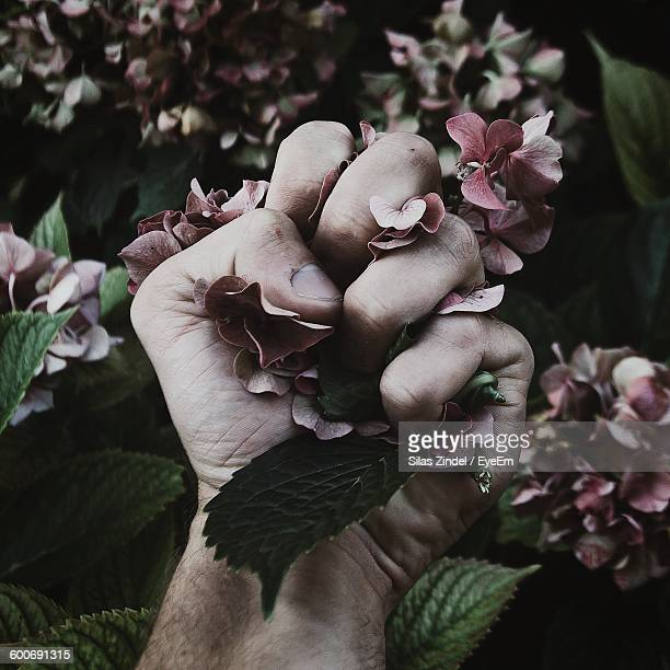 cropped hand of man crushing hydrangeas - crushed leaves stock pictures, royalty-free photos & images