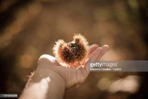 cropped hand of man holding chestnut - massimo cavallari stock pictures, royalty-free photos & images