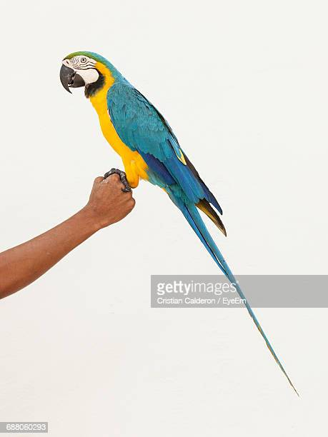 Cropped Hand Of Man Holding Gold And Blue Macaw Against White Background