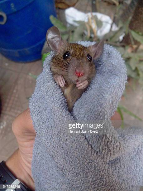 cropped hand of man holding mouse in blanket - field mouse stock photos and pictures