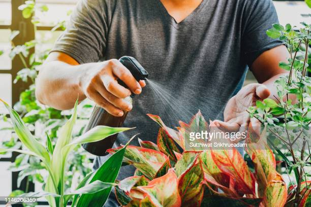 cropped hand of man spraying liquid fertilizer on red aglaonema plant - spraying stock pictures, royalty-free photos & images