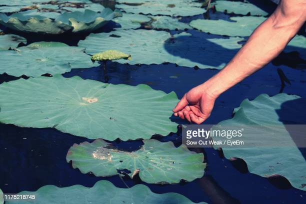 cropped hand of man touching leaf on pond - 人体部位 ストックフォトと画像