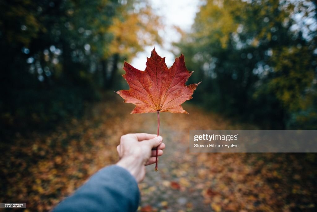 Cropped Hand Of Person Holding Autumn Leaf Against Trees : Photo