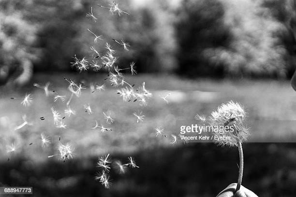 Cropped Hand Of Person Holding Dandelion