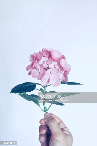 cropped hand of person holding flowers against white background - あじさい ストックフォトと画像