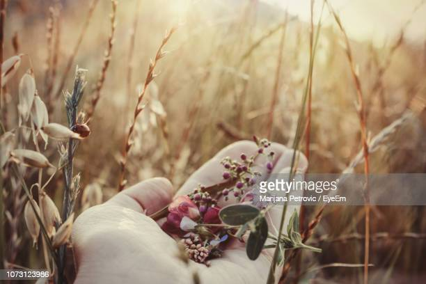 cropped hand of person holding flowers amidst plants on field - marijana stock pictures, royalty-free photos & images