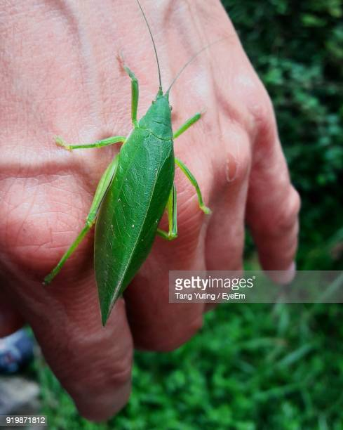 Cropped Hand Of Person Holding Grasshopper