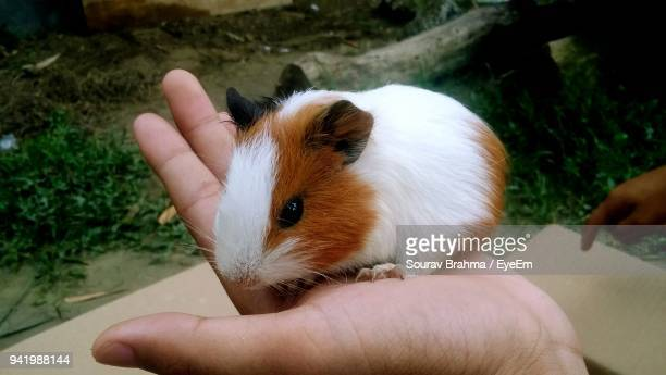 Cropped Hand Of Person Holding Guinea Pig