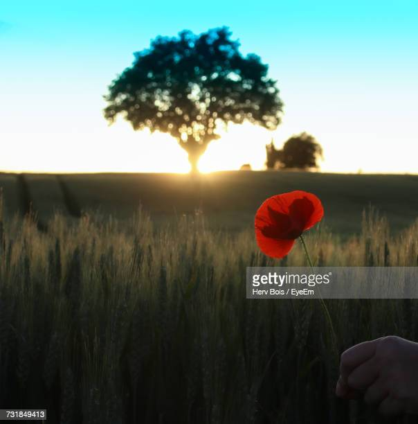 Cropped Hand Of Person Holding Poppy On Field During Sunset