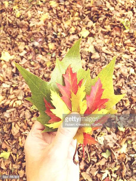 Cropped Hand Of Person Holding Various Maple Leaves