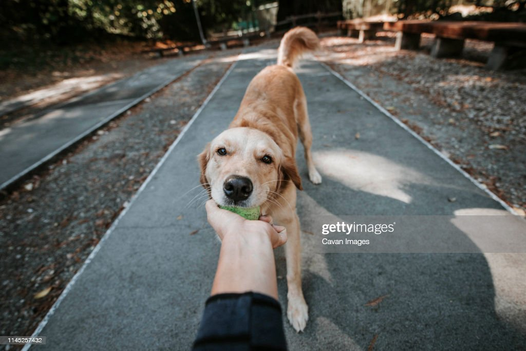 Cropped hand of woman holding ball carried by Golden Retriever in mouth while standing on footpath at park : Stock Photo