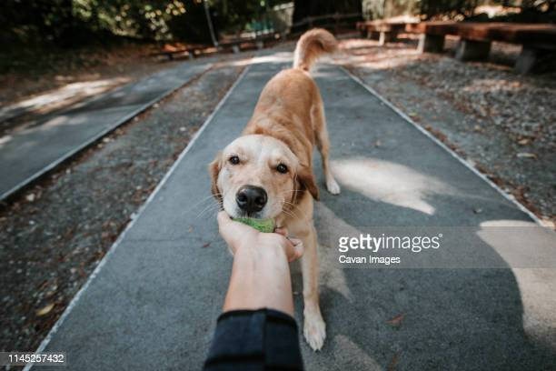 cropped hand of woman holding ball carried by golden retriever in mouth while standing on footpath at park - golden retriever stock pictures, royalty-free photos & images