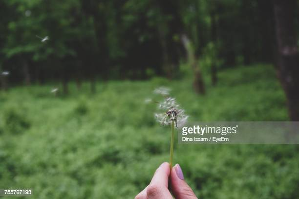 Cropped Hand Of Woman Holding Dandelion At Forest
