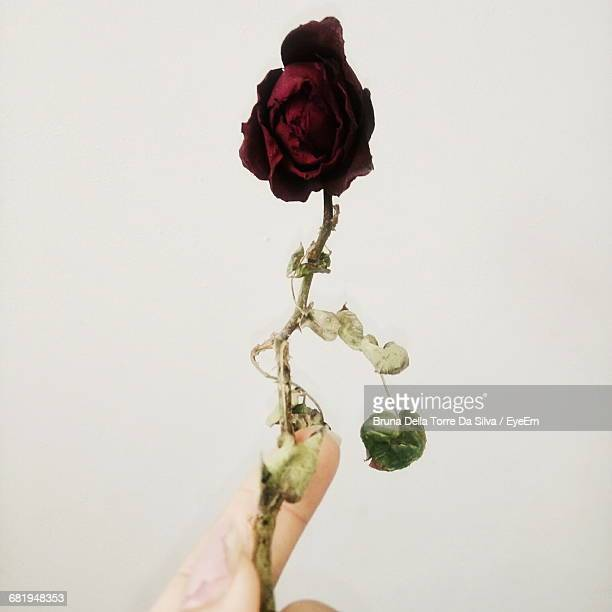 Cropped Hand Of Woman Holding Dried Red Rose Against White Background