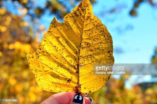 cropped hand of woman holding maple leaf - rowena miller stock photos and pictures