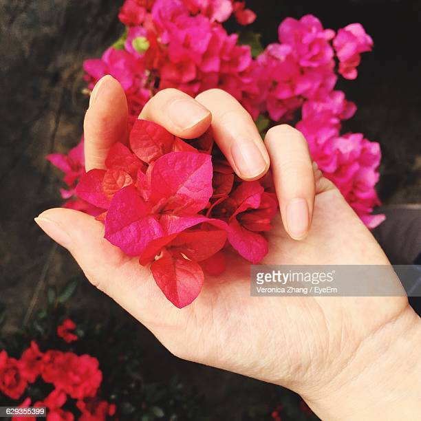 Cropped Hand Of Woman Holding Pink Bougainvilleas At Garden