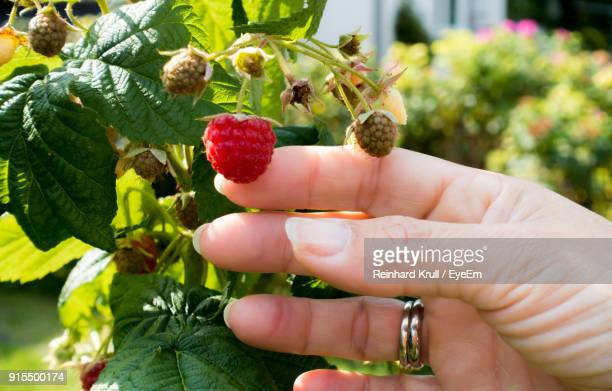 Cropped Hand Of Women Holding Berry Fruit Growing On Plant