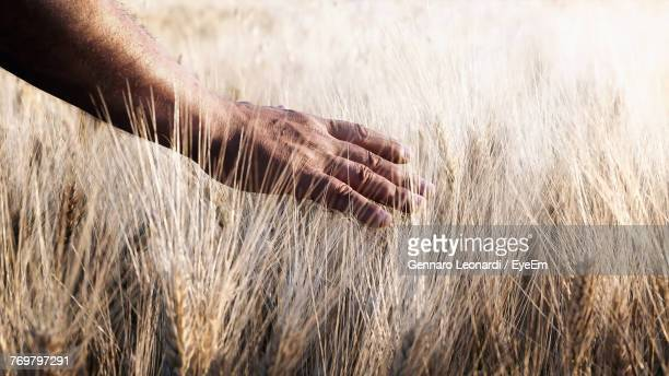 Cropped Hand On Wheat Plants