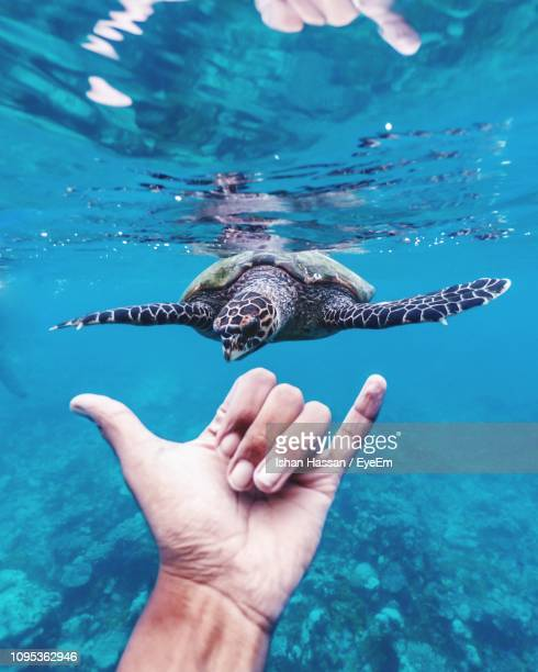 Cropped Hand Showing Shaka Sign By Turtle In Sea