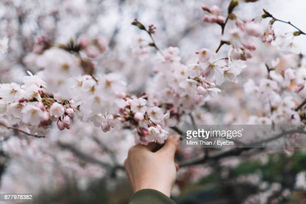 Cropped Hand Touching Apple Blossom At Park