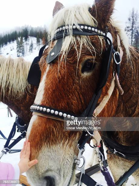 cropped hand touching horse during winter - leavenworth washington stock photos and pictures