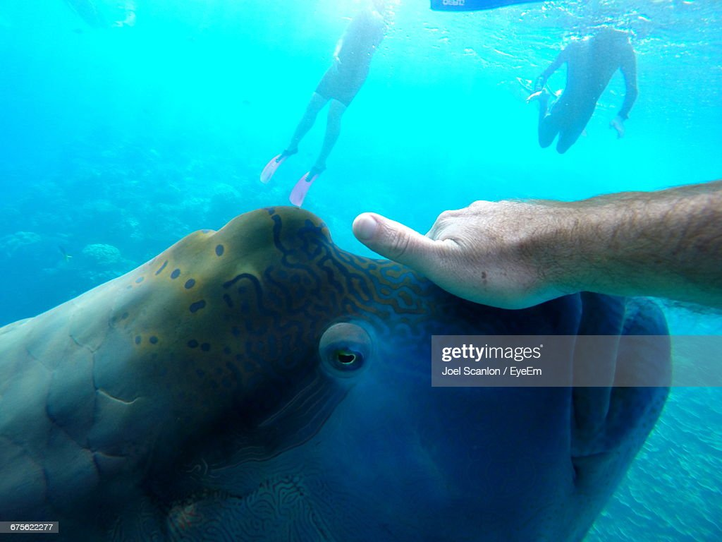 Cropped Hand Touching Humphead Wrasse Swimming In Sea : Stock Photo