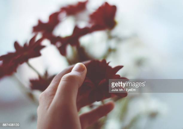Cropped Hand Touching Red Flower
