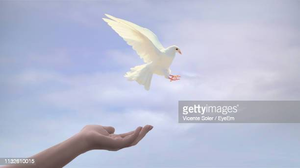 cropped hand with white dove against sky - 小さめのハト ストックフォトと画像