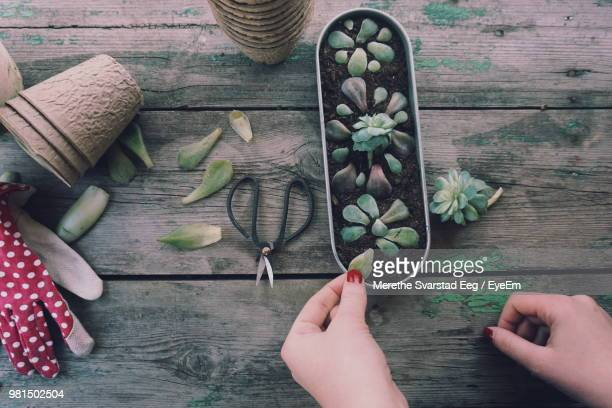 cropped hands gardening on wooden table - plante grasse photos et images de collection