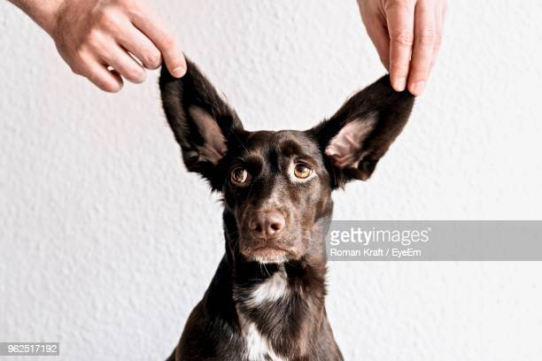 cropped hands holding dog ears against wall - animal ear stock photos and pictures
