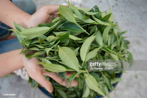 cropped hands holding green tea leaves - tea leaves stock photos and pictures