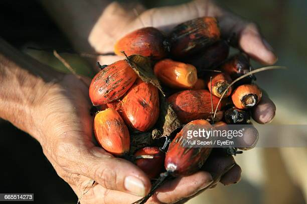 Cropped Hands Holding Oil Palm Fruits