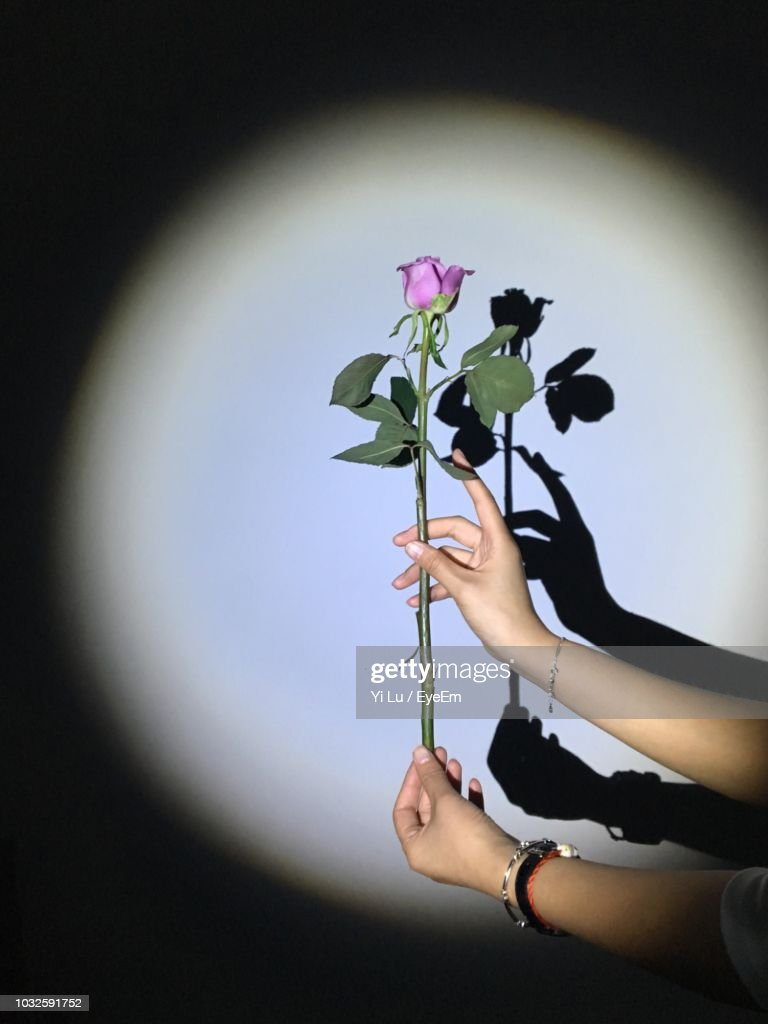 Cropped Hands Holding Purple Rose Against Shadow On Wall : Stock Photo