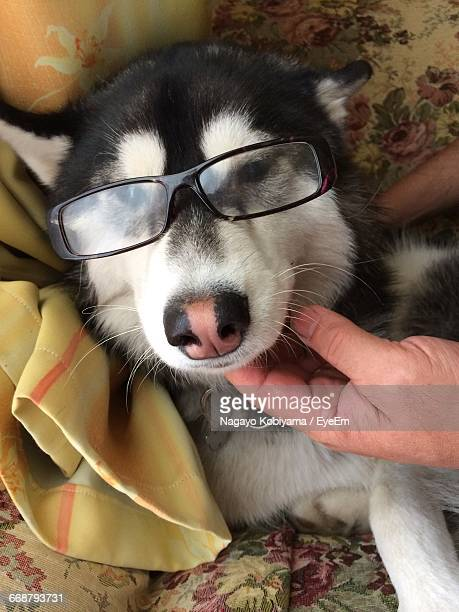 cropped hands holding siberian husky wearing eyeglasses on bed at home - japanese spitz stock pictures, royalty-free photos & images