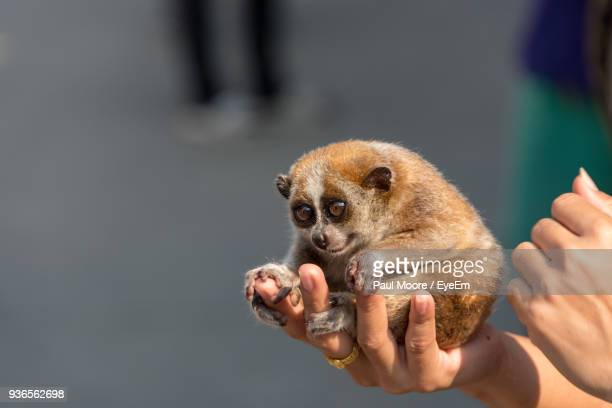 Cropped Hands Of Man Holding Lemur
