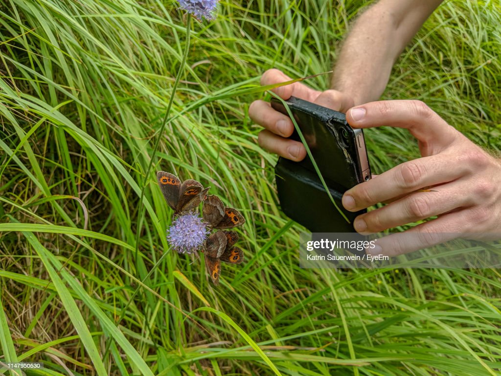 Cropped Hands Of Man Photographing Butterflies Pollinating Purple Flower : Stock Photo
