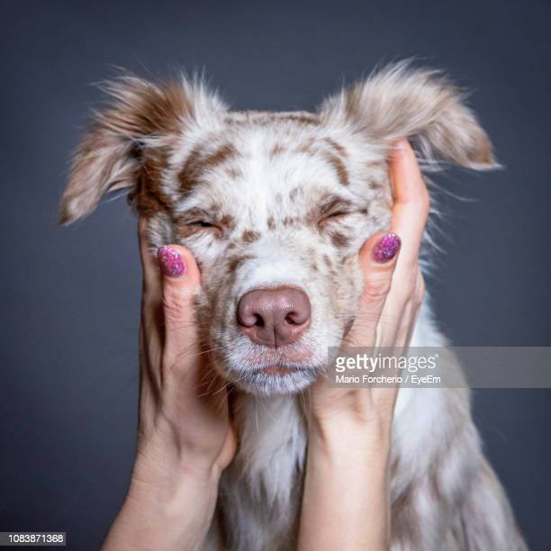 cropped hands of woman holding dog against gray background - australian shepherd stock pictures, royalty-free photos & images