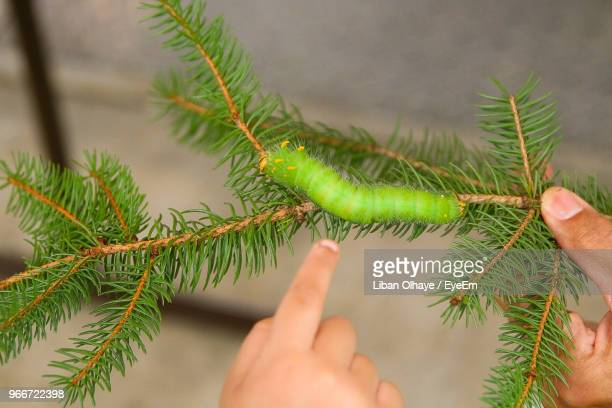cropped hands with caterpillar on branch - needle plant part stock photos and pictures