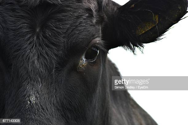 Cropped Image Of Black Cow Against Sky