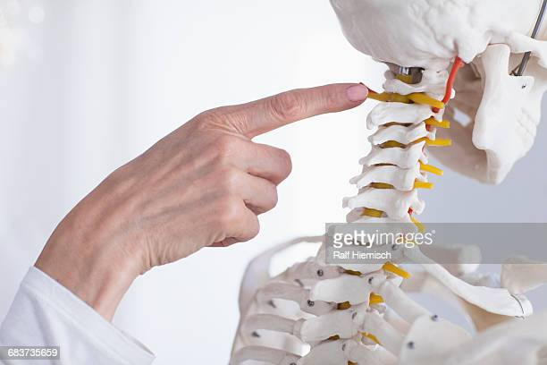 cropped image of doctors hand pointing at skeleton while explaining anatomy - columna vertebral humana fotografías e imágenes de stock