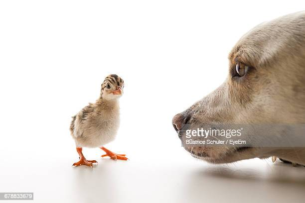 Cropped Image Of Dog Looking At Keet On White Background