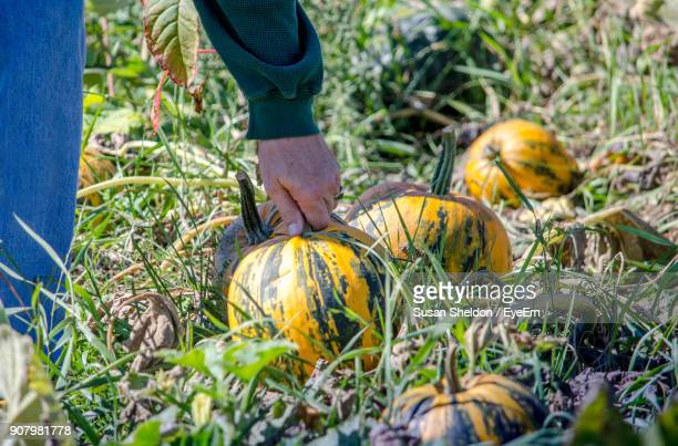 Cropped Image Of Farmer Holding Pumpkin At Farm